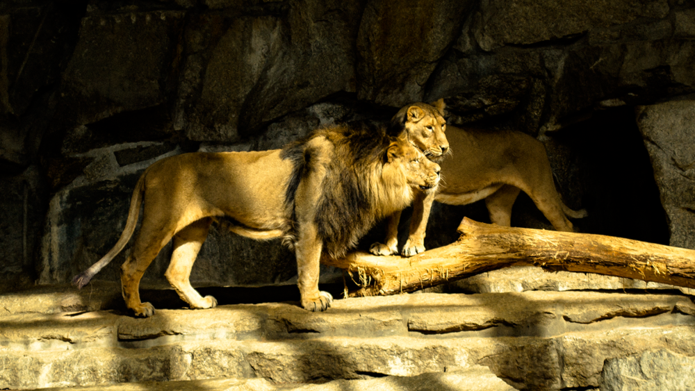 Male and female Lion in the Berlin zoological garden