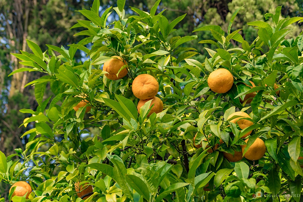 Oranges in Villa Monastero