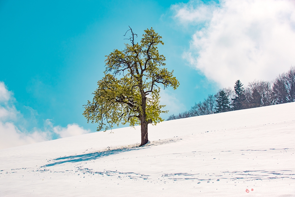 A single tree in snow