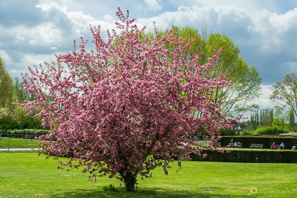 Cherrytree in the Gardens of the world