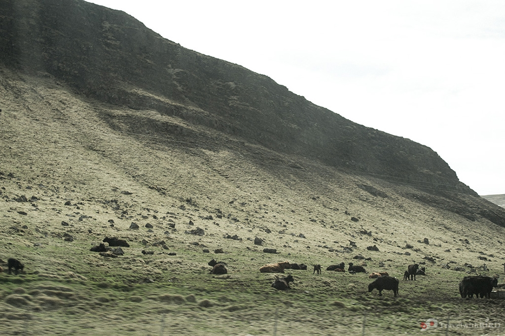 Cows beside the road