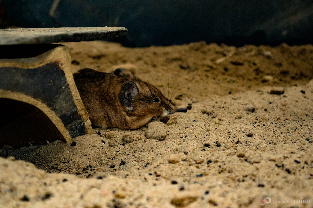 Desert mouse in zoo of Berlin