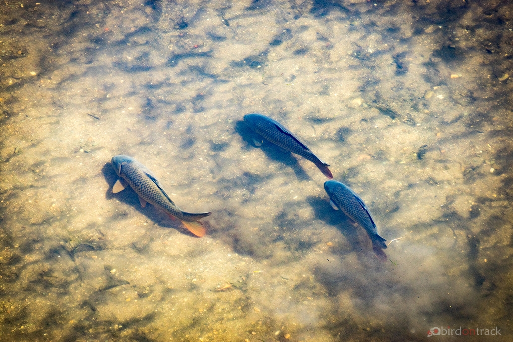 Fishes in Girona River