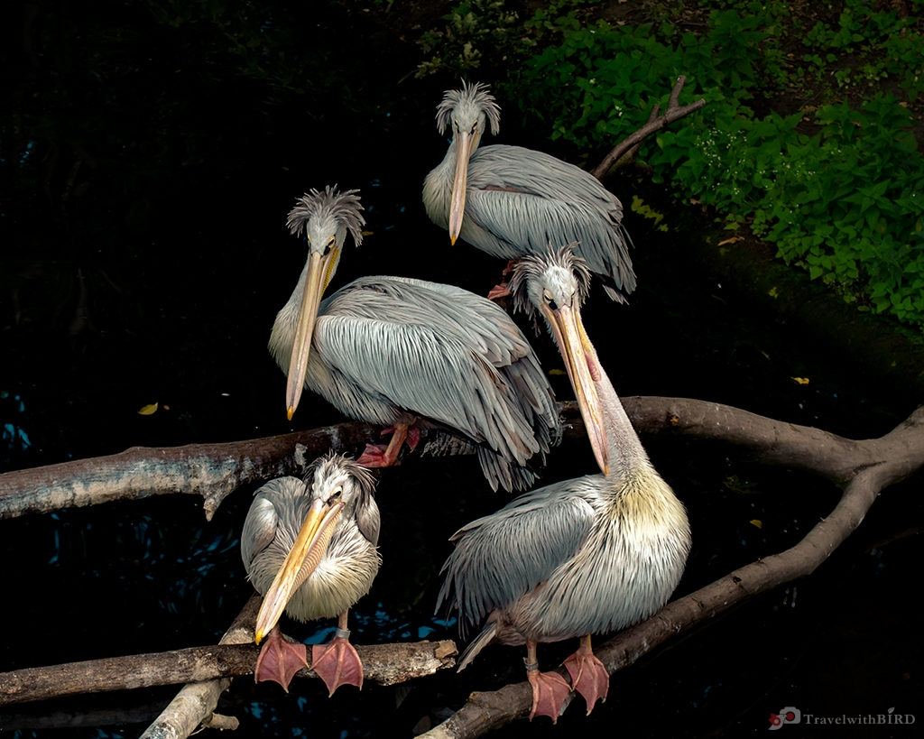 Grey Pelicans in the Zoo Berlin