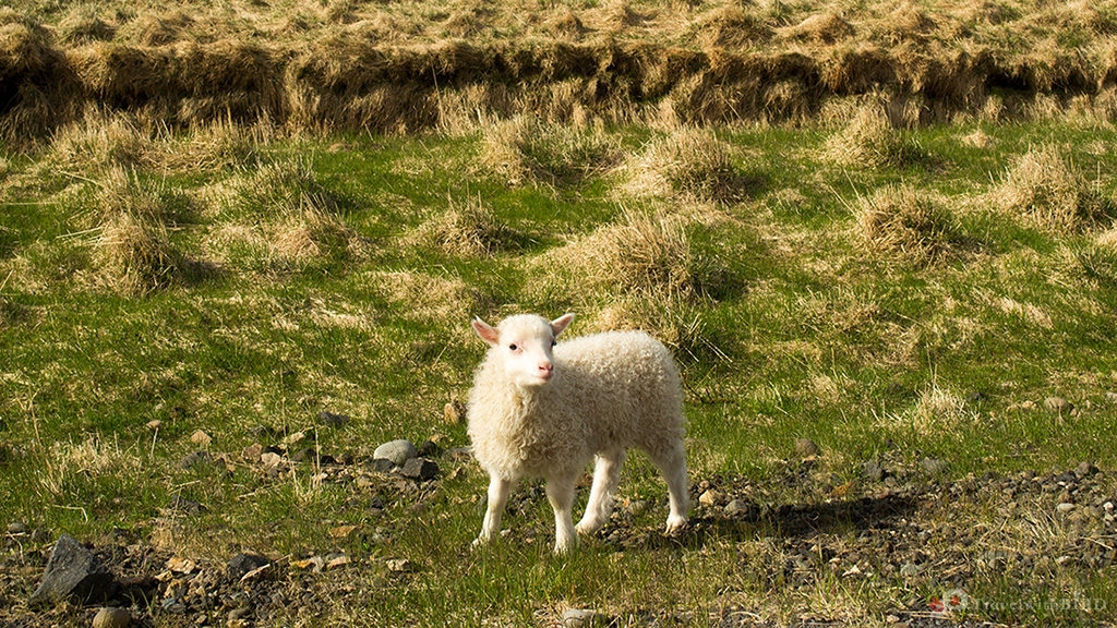 Little lamb says hello to us