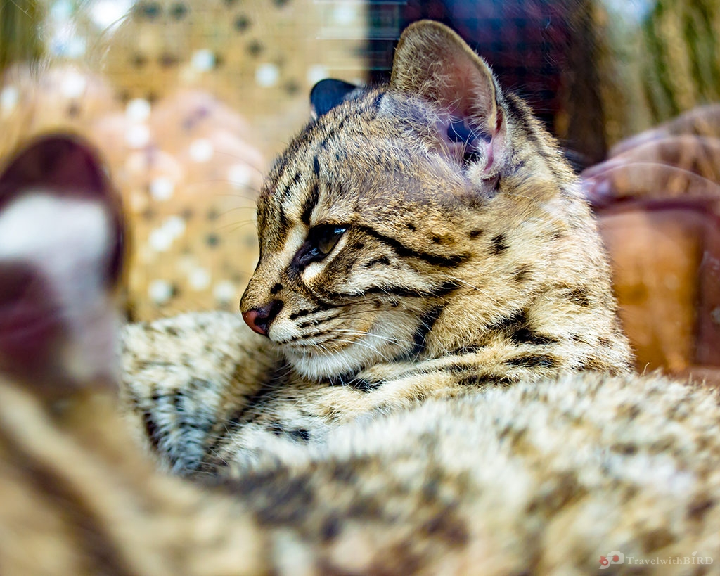 Little wildcat in zoo of Berlin
