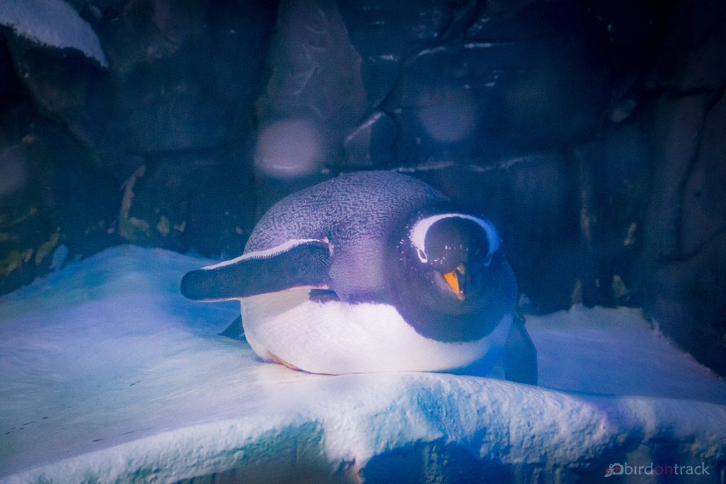 Penguin laying in the Sea Life Constance