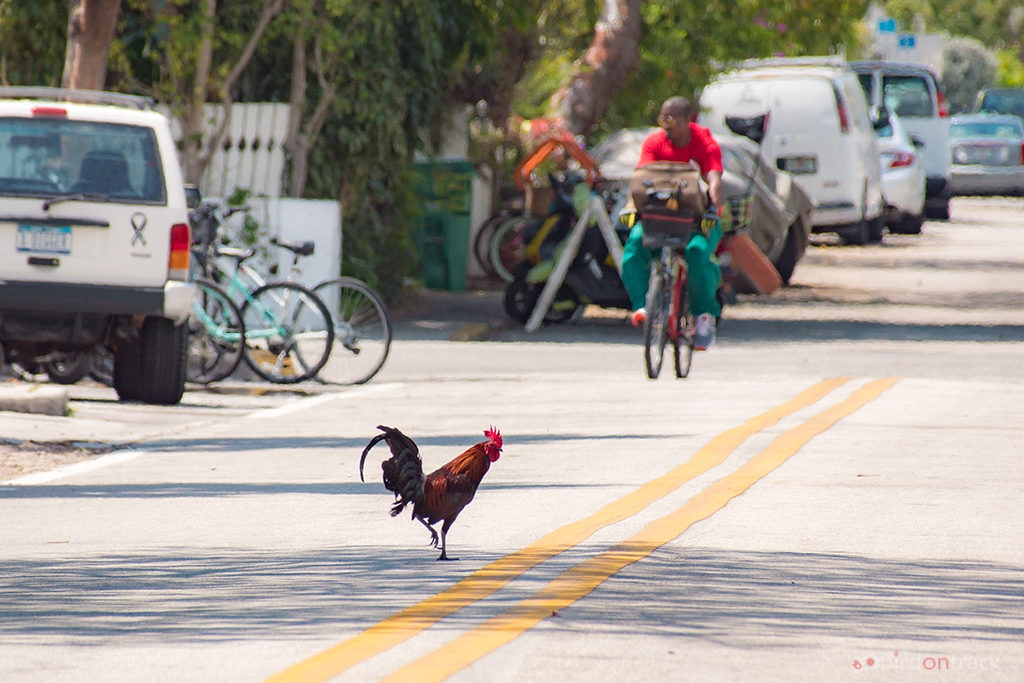Rooster crosses the street in key West
