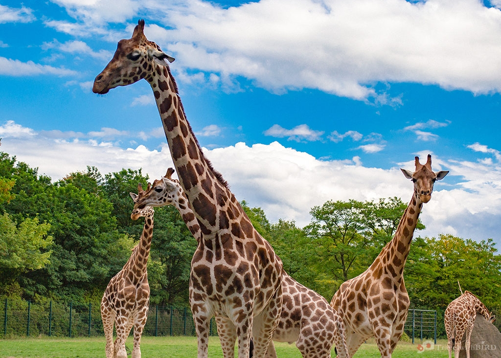 Rothschild Giraffes in Zoo of Berlin