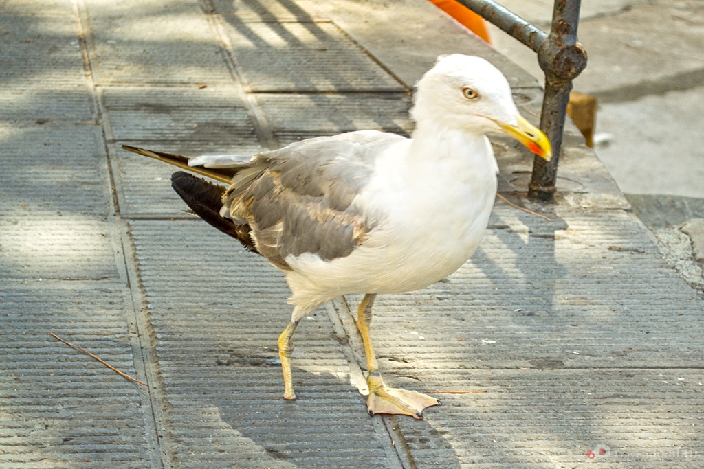 Seagull with one leg