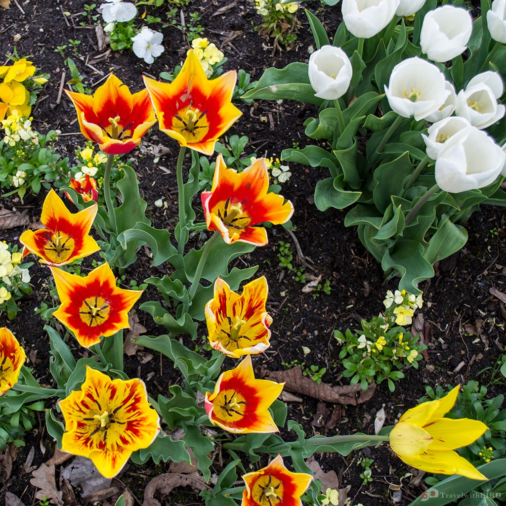 Tulips in the gardens of the world