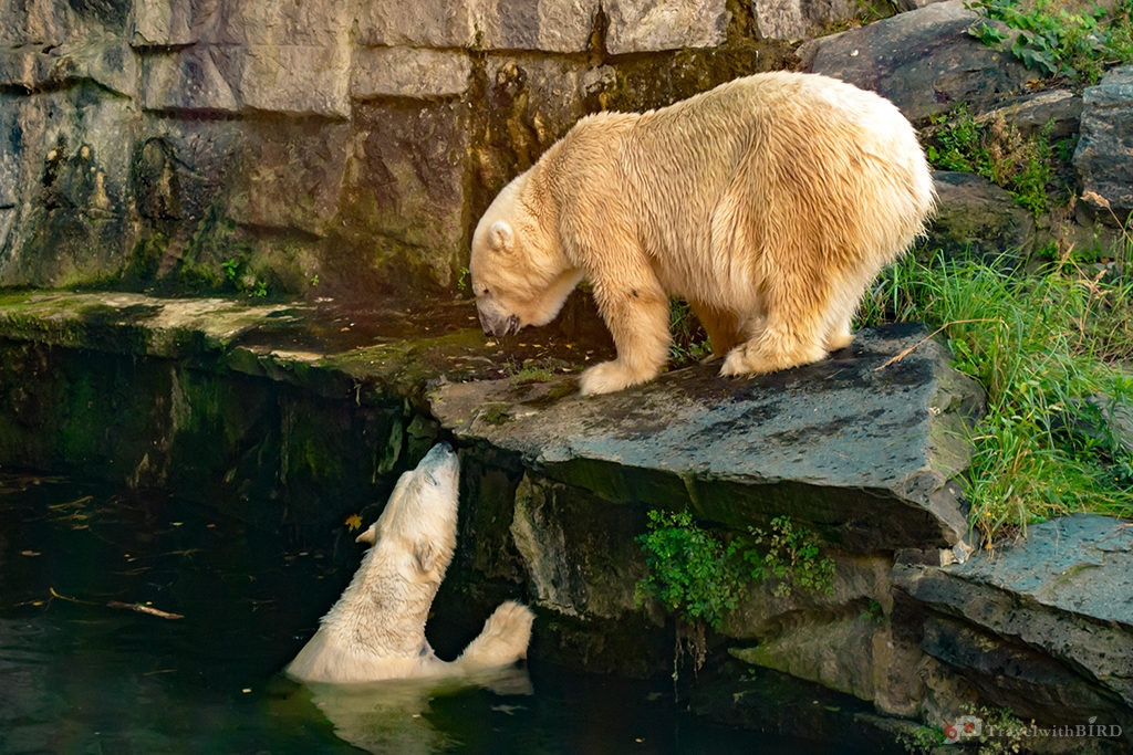 Two Ice bears in the zoo of Berlin