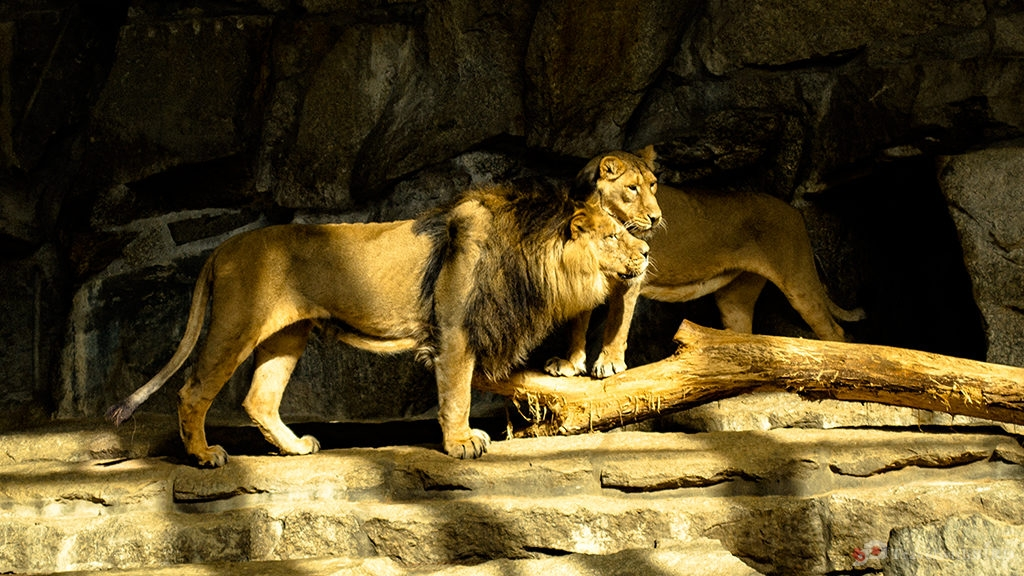 Two Lions in Zoo Berlin